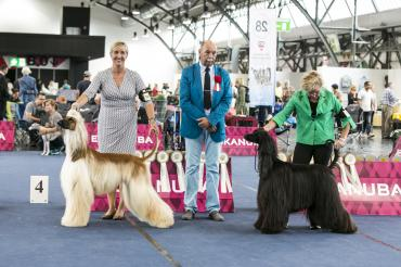 1.day judging ring great dane, afghan hound